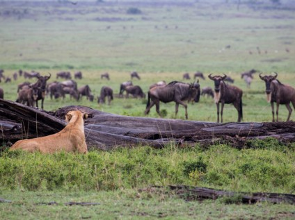 Lioness hunting in the Maasai Mara Kenya