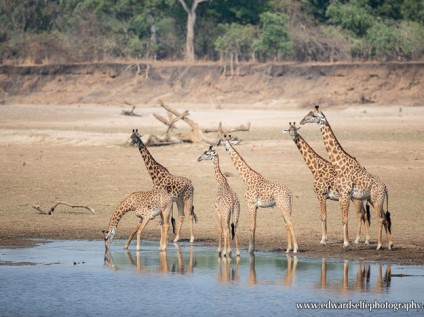 Thornicroft's giraffes South Luangwa, Zambia