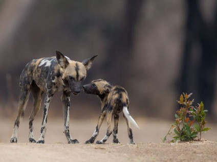 Wild dogs South Luangwa, Zambia
