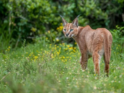 Caracal at Kariega Game Reserve, South Africa