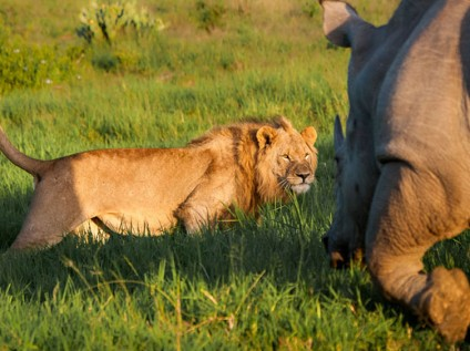 Lion meets rhino at Kariega Game Reserve, South Africa