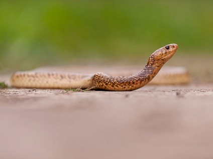 Cape cobra at Kariega Game Reserve, South Africa