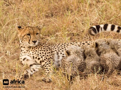 Cheetah cubs, cheetah, wildlife, safari, Maasai Mara National Reserve, Kenya