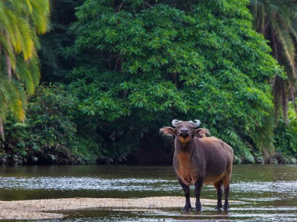 A forest buffalo looks on inquisitively in Odzala-Kakoua National Park, Congo