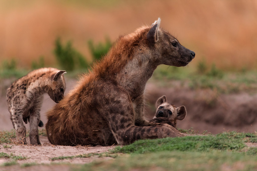 1-liuwa-plains-hyenas-copy