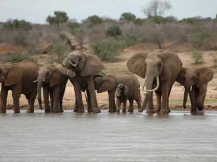 Elephants spotted during Walking with Giants Tsavo East, Kenya