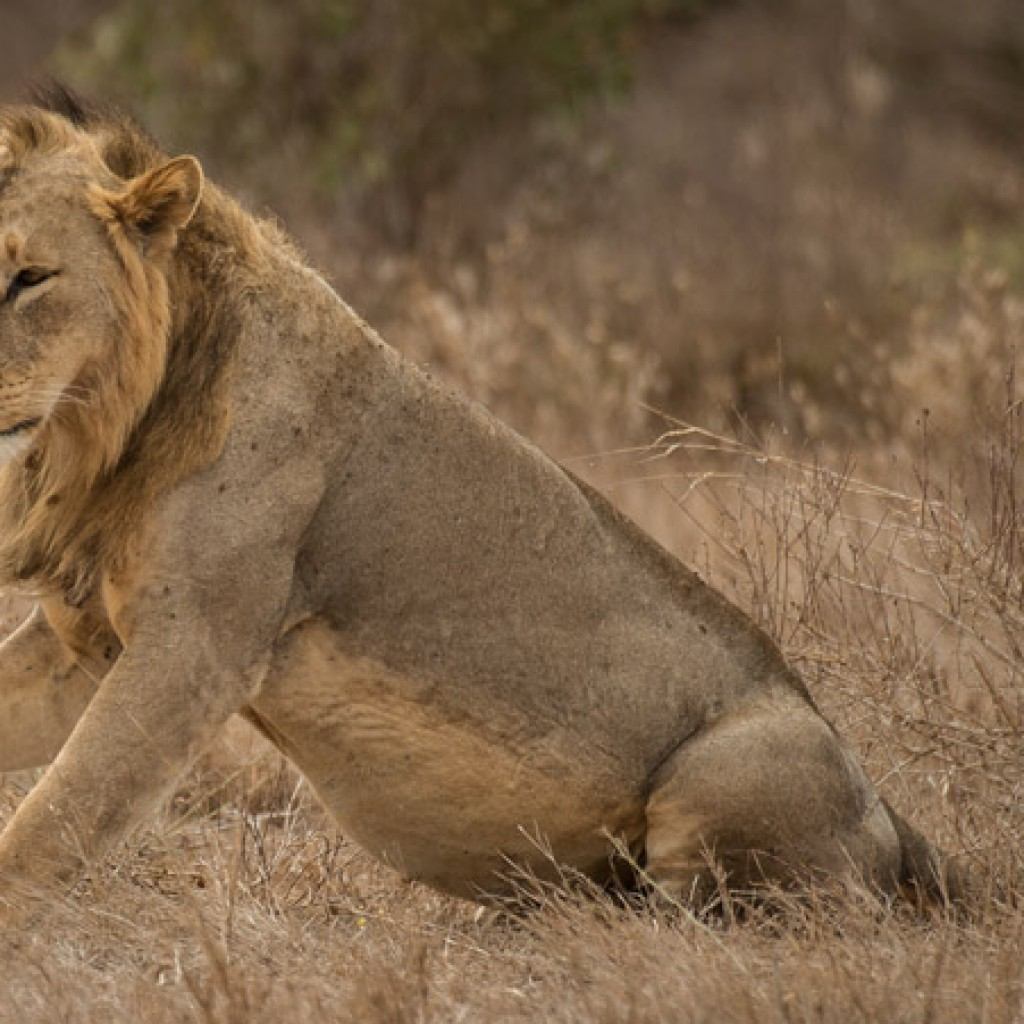 Tsavo lion seen by Africa Geographic client