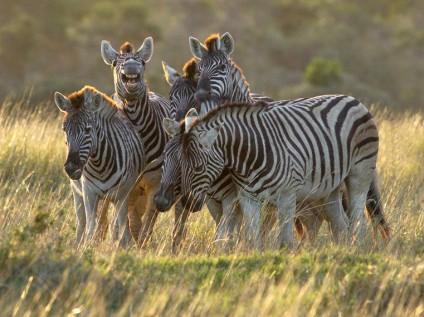 Zebras at Kariega Game Reserve, South Africa