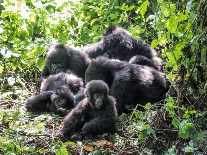 Mountgain gorillas Kabirizi Family, Virunga National Park, DR Congo