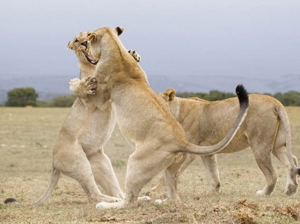 Lions at Kariega Game Reserve, South Africa