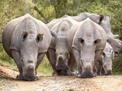 White rhinos at Kariega Game Reserve, South Africa