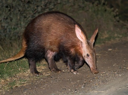 Aardvark at Kariega Game Reserve, South Africa