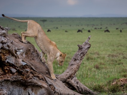 Lion descending tree, Maasai Mara National Reserve, Kenya