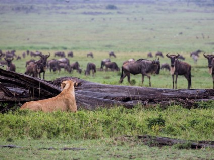 lioness, prowl, wildlife, safari, Maasai Mara National Reserve, Kenya