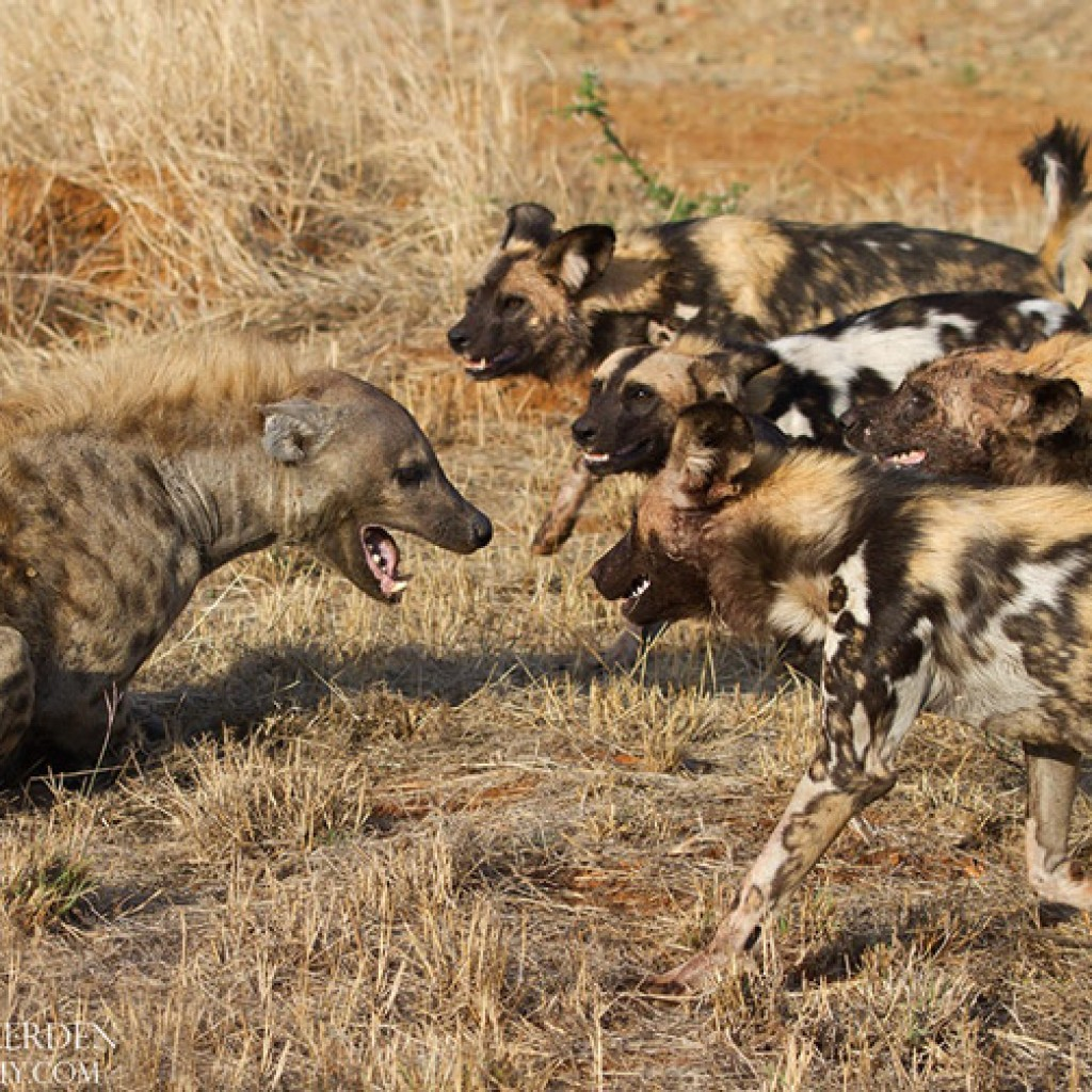 This image of wild dogs mobbing a hyena at Madikwe was taken by our guide and professional photographer Francois van Heerden. See more of his photos from Madikwe in this gallery. © Francois van Heerden