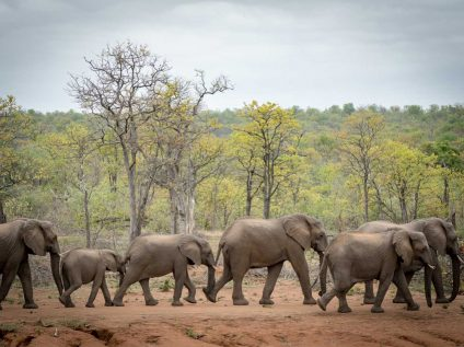 Kruger wilderness walking safari, Africa Geographic - elephants