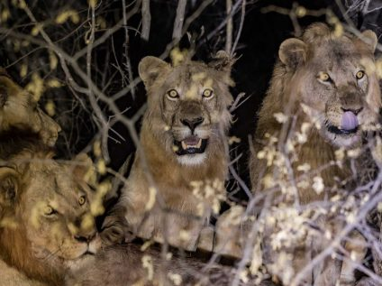 Kruger wilderness walking safari, Africa Geographic - lions