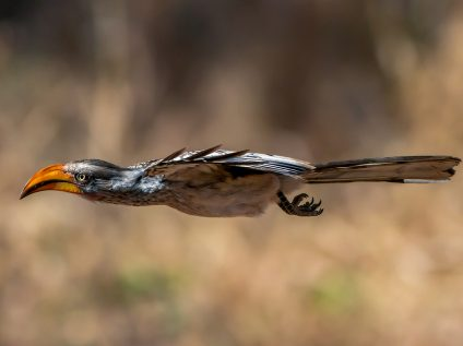 Yellow-billed hornbill flying