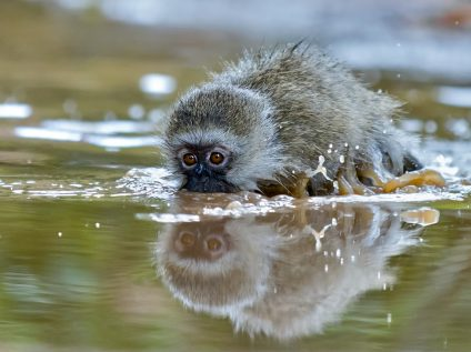 Vervet monkey plays in the water in Sabi Sands, Greater Kruger