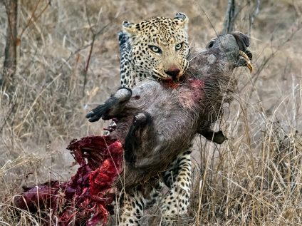 A leopard with its warthog kill in Sabi Sands, Greater Kruger