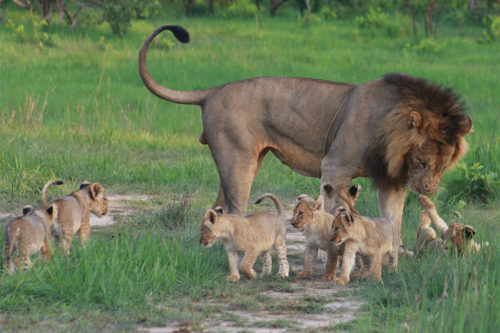 Lion on safari with Africa Geographic